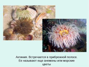 Актиния. Встречается в прибрежной полосе. Ее называют еще анемоны или морские