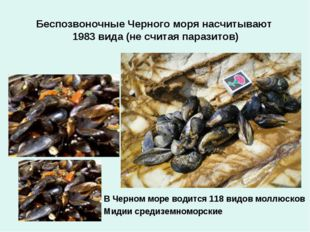 Беспозвоночные Черного моря насчитывают 1983 вида (не считая паразитов) В Чер
