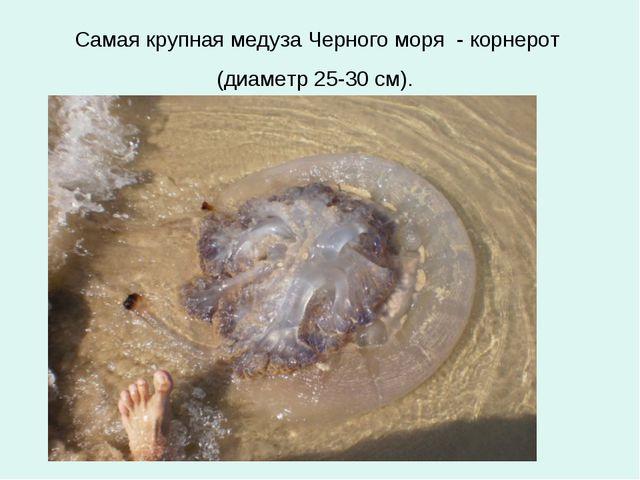 Самая крупная медуза Черного моря - корнерот (диаметр 25-30 см).