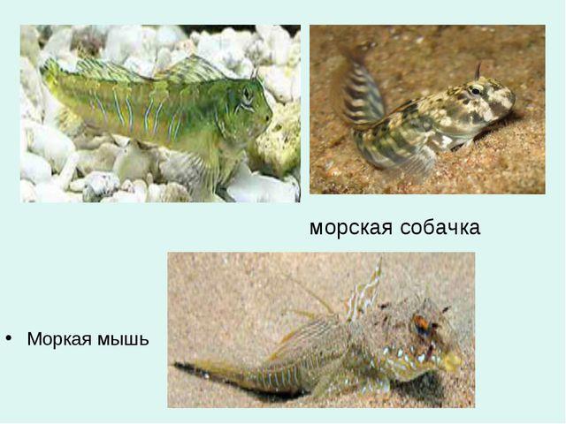 морская собачка Моркая мышь