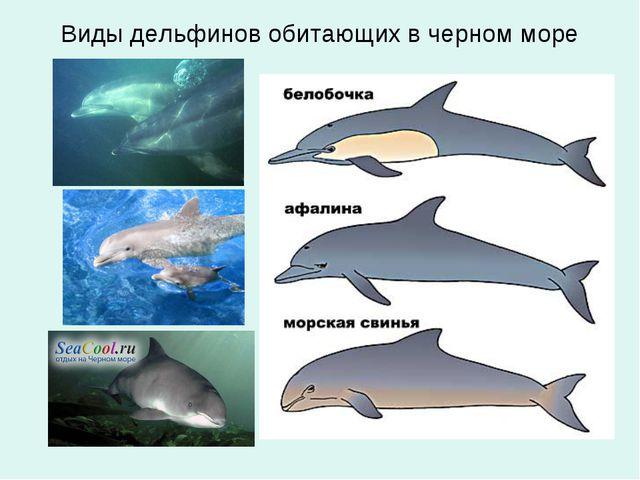 Виды дельфинов обитающих в черном море