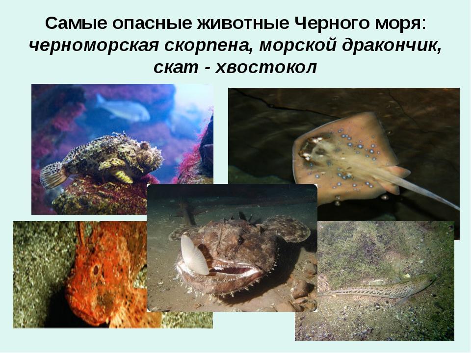 Самые опасные животные Черного моря: черноморская скорпена, морской дракончик...