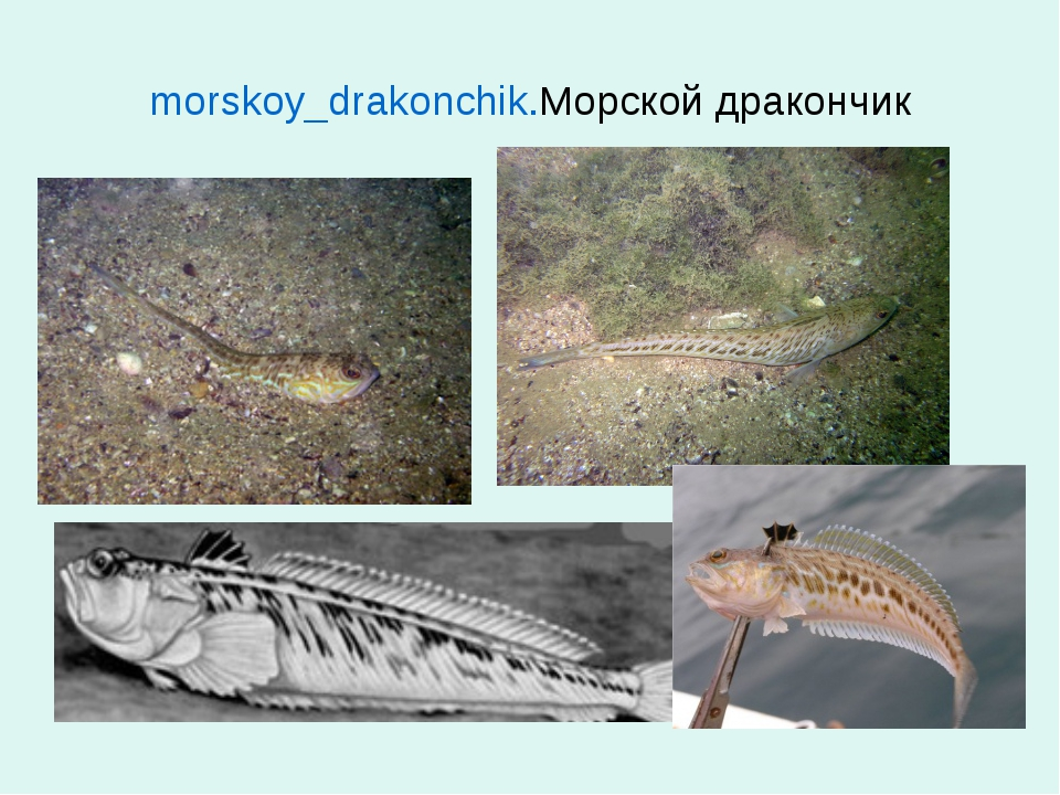 morskoy_drakonchik.Морской дракончик