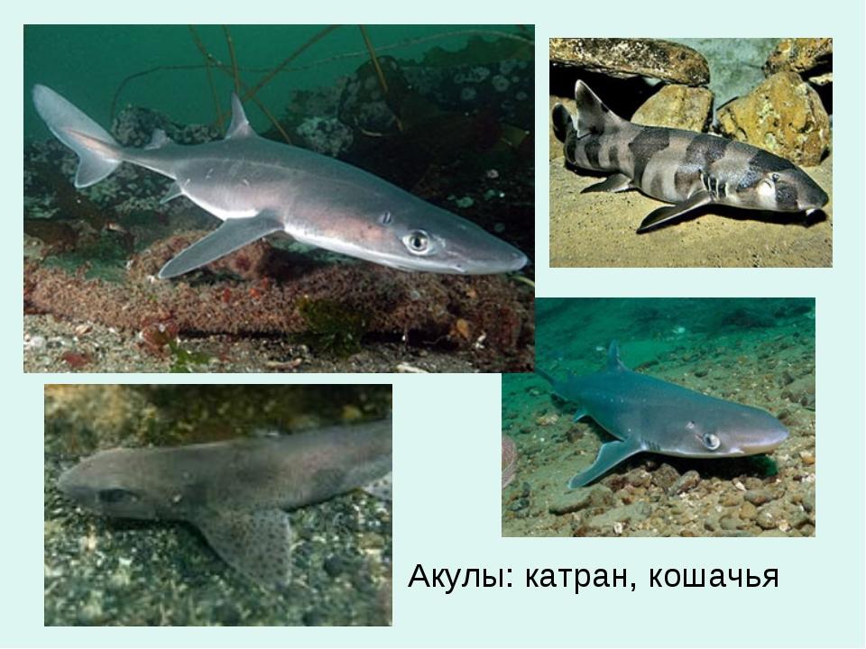 Акулы: катран, кошачья
