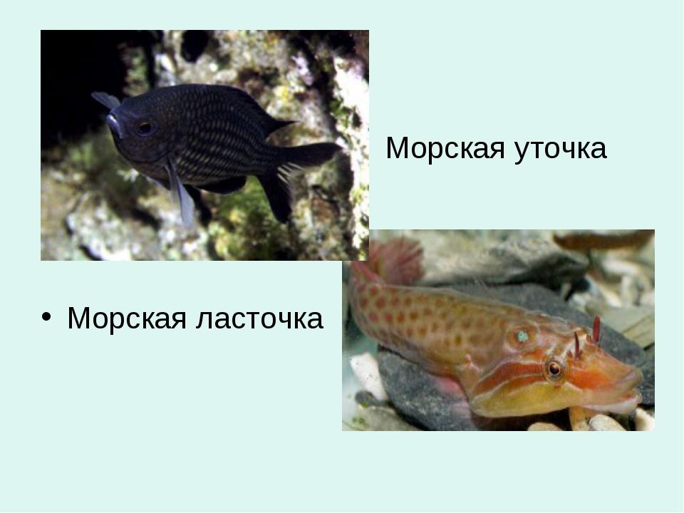 Морская уточка Морская ласточка