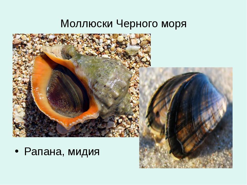Моллюски Черного моря Рапана, мидия