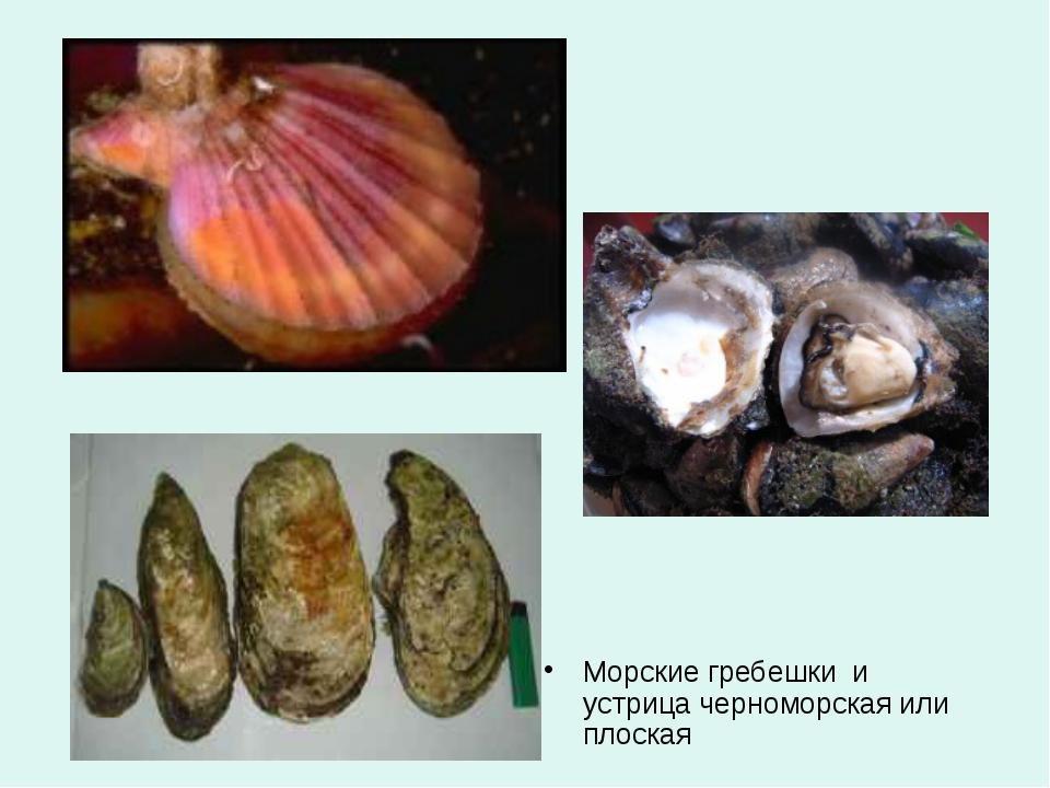 Морские гребешки и устрица черноморская или плоская